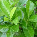 Laurowiśnia wschodnia 'Rotundifolia' 1