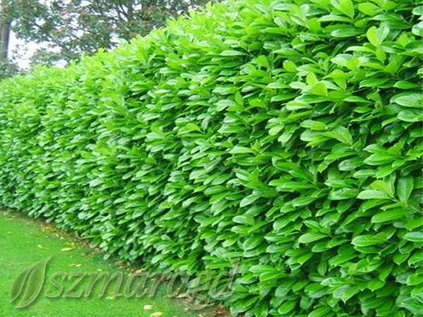 Laurowiśnia wschodnia 'Rotundifolia' 2