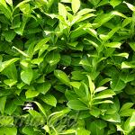 Laurowiśnia wschodnia 'Rotundifolia' 3