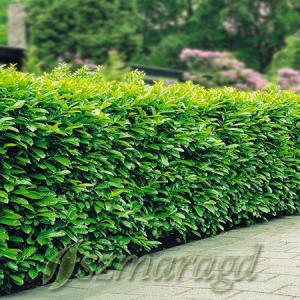 Laurowiśnia wschodnia 'Rotundifolia' 4 x