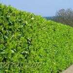 Laurowiśnia wschodnia 'Rotundifolia' 5