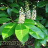 Laurowiśnia wschodnia 'Rotundifolia' 6