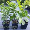 Laurowiśnia wschodnia 'Rotundifolia'