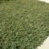 Irga płożąca 'Queen of Carpets'